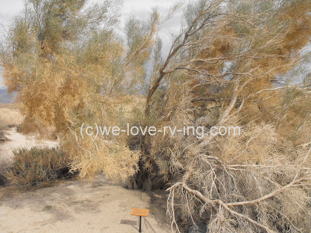 The smoke tree branches reach out