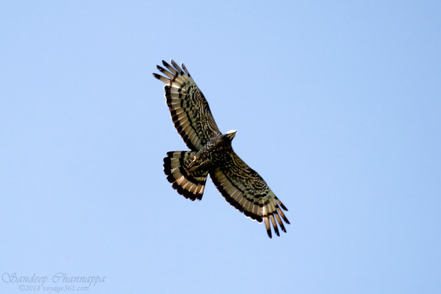Oriental Honey-buzzard with artistic patterns on its wings