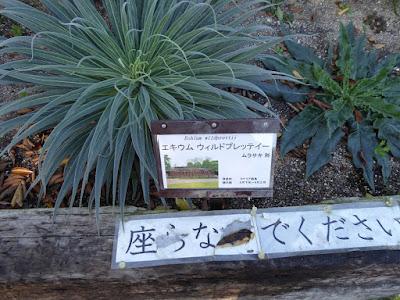 【京都府】京都府立植物園 エキウム ウィルドプレッティー
