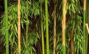 Hojas bambú