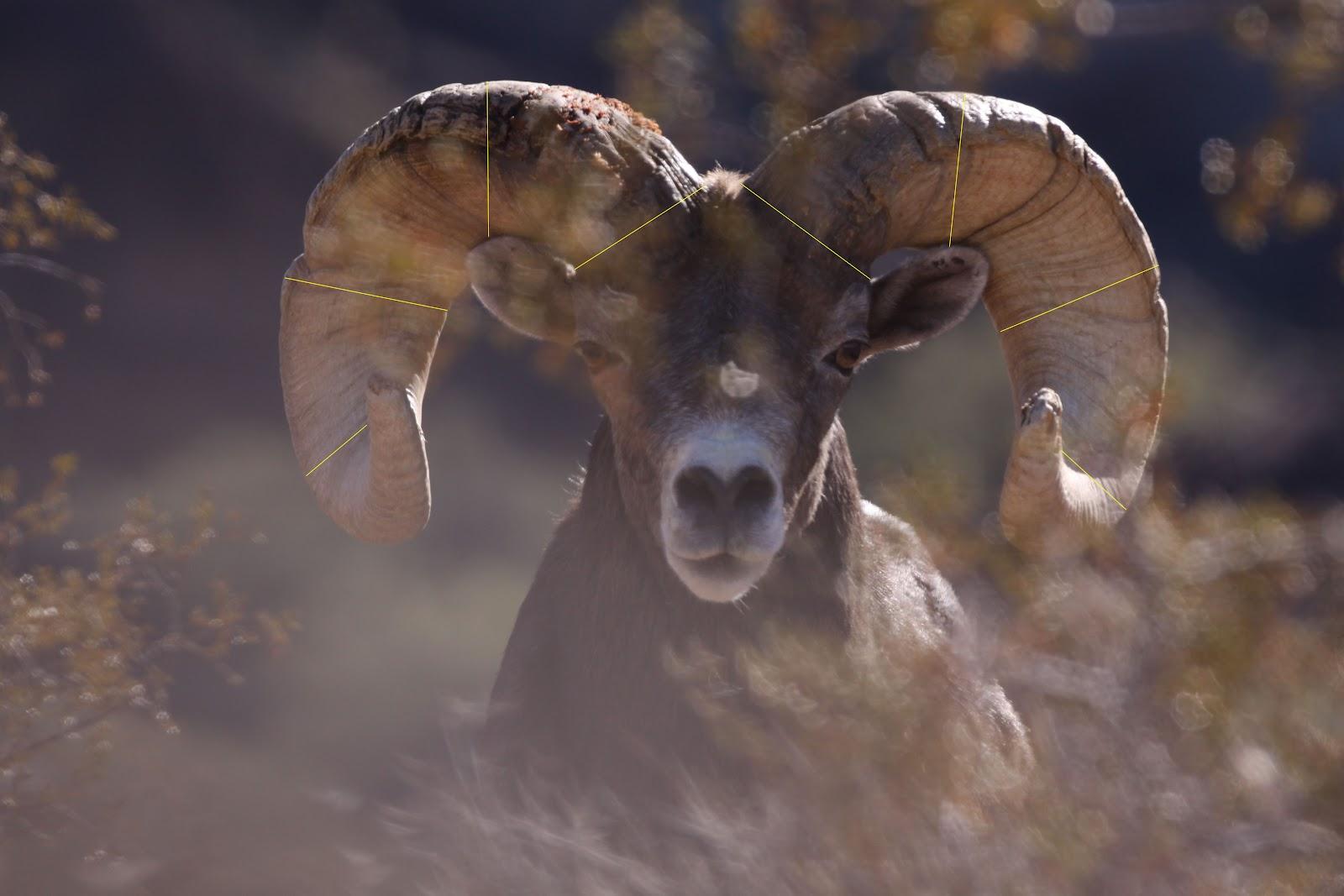 Jay Scott Outdoors How To Field Judge Desert Bighorn