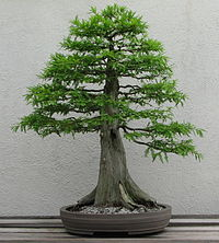 bonsai de cipres