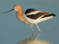 Avocet Animal Pictures