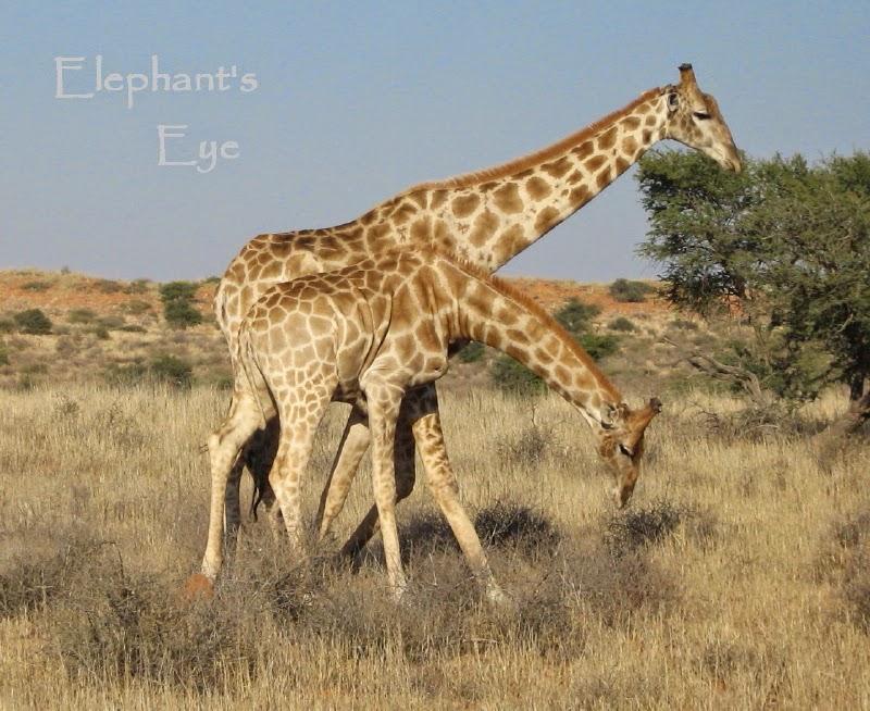 Kgalagadi giraffes
