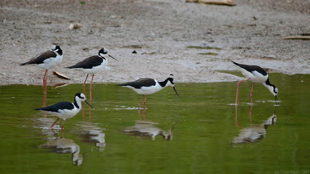 White-backed Stilt Himantopus melanurus Pernilongo-de-costas-brancas Tero-real