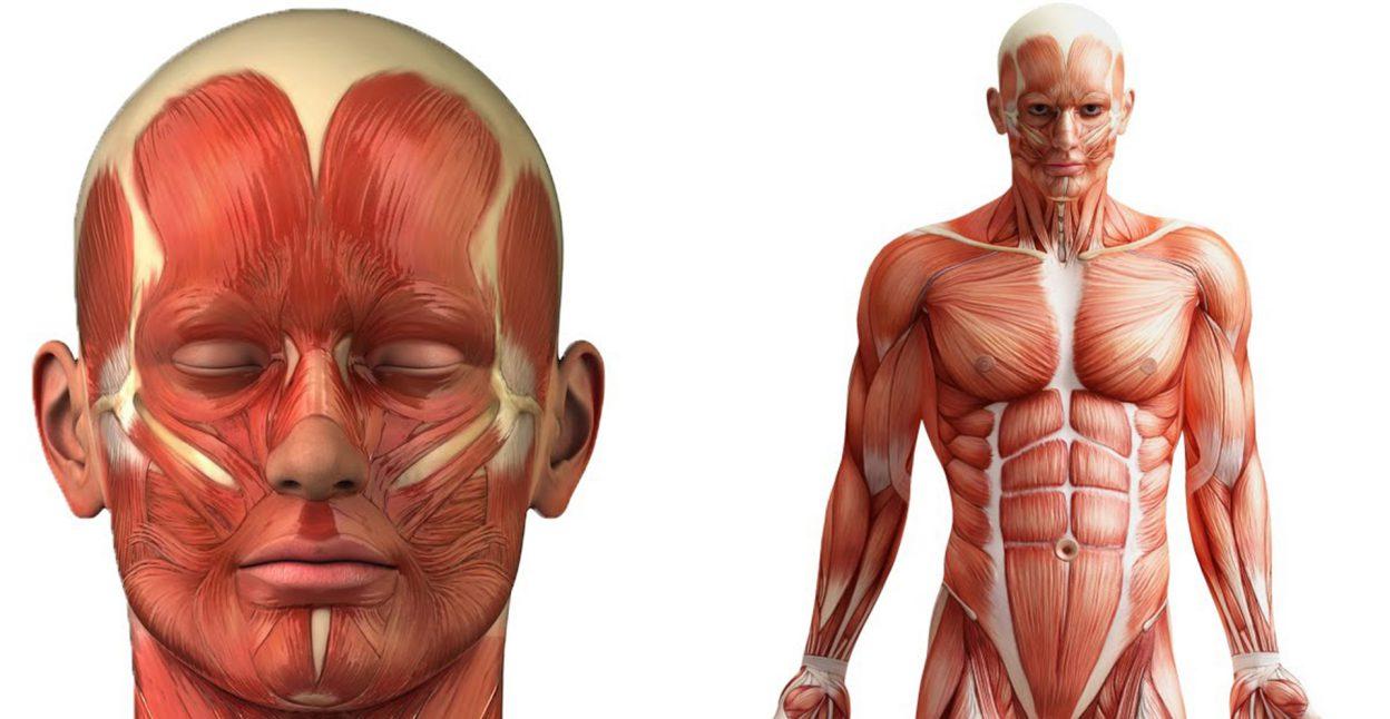 El músculo esquelético estriado - Biología