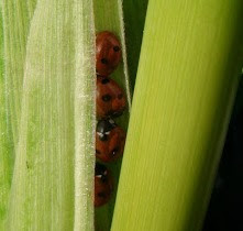 ladybirds sweetcorn Autumn garden jobs