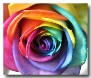 Arapahoe Floral Somewhere Over The Rainbow Rose