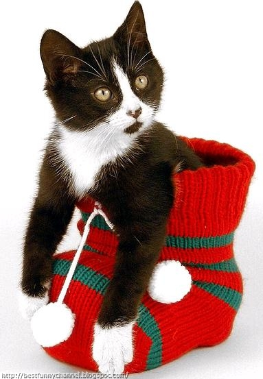 Funny Christmas kitten.