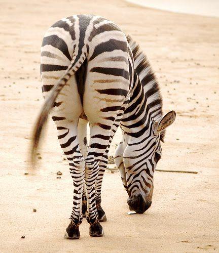 Если долго не писать — поломается перо, жопа зебры