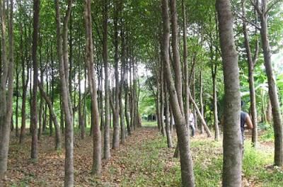 Cara Budidaya Pohon Gaharu