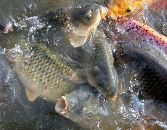 Kisah Sukses Budidaya Ikan Nila Merah - Lestarianto