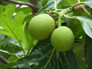 Arbre à pain - Fruit à pain - Artocarpus altilis