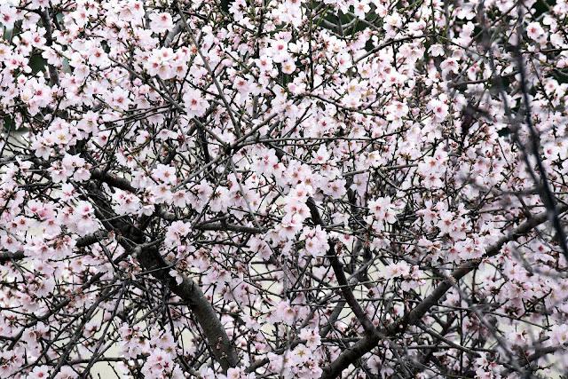 Mandelblüte i Frühling, (c)ulleo, pixabay.com