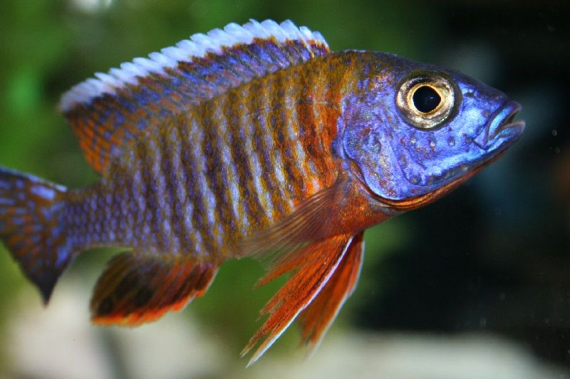 Gambar 5 Ikan cichlid Afrika - Fort Maguire Aulonocara (Aulonocara hansbaenschi)
