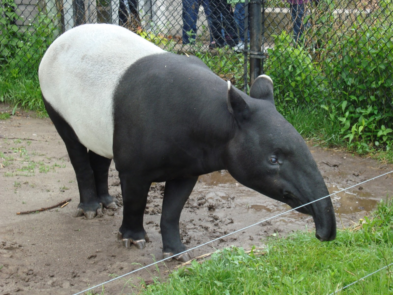 ShukerNature: BREVET'S BLACK MALAYAN TAPIR - AN ASIAN