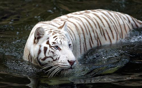tigre-branco