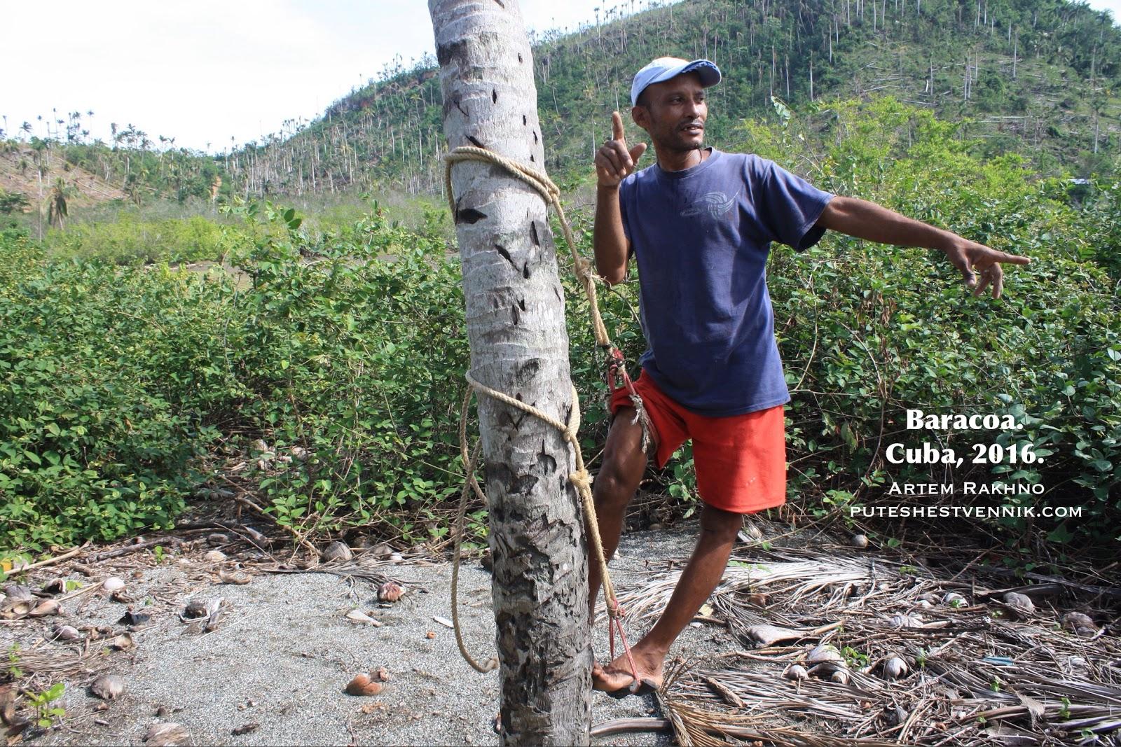 Кубинский собиратель кокосов в Баракоа