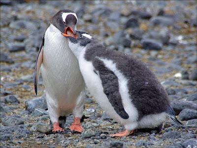 Pingüino de vincha Pygoscelis papua