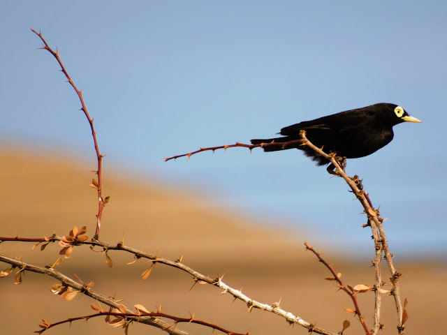 Birds of Patagonia: spectacled tyrant