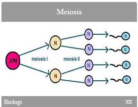 Biologi SMA Kelas XII Meiosis