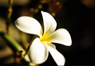 Fakta Unik Dari Manfaat Bunga Kamboja