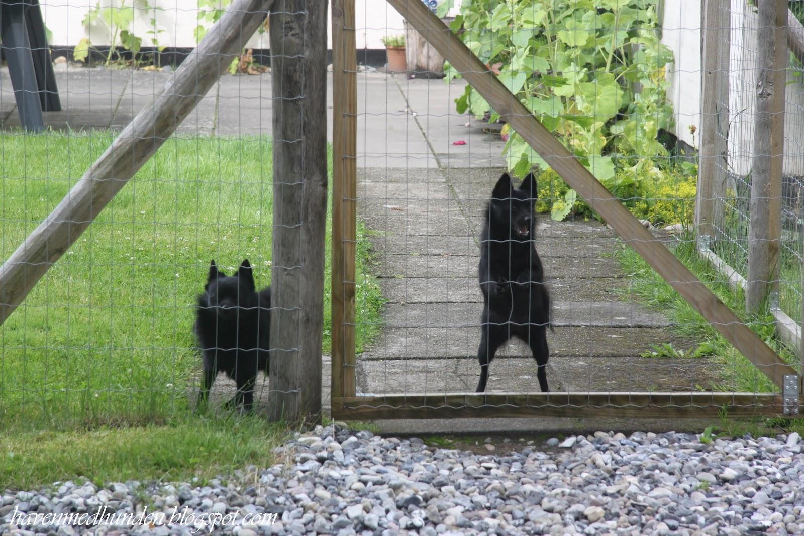Haven med hunden: en drøm af en have   høneballehaven