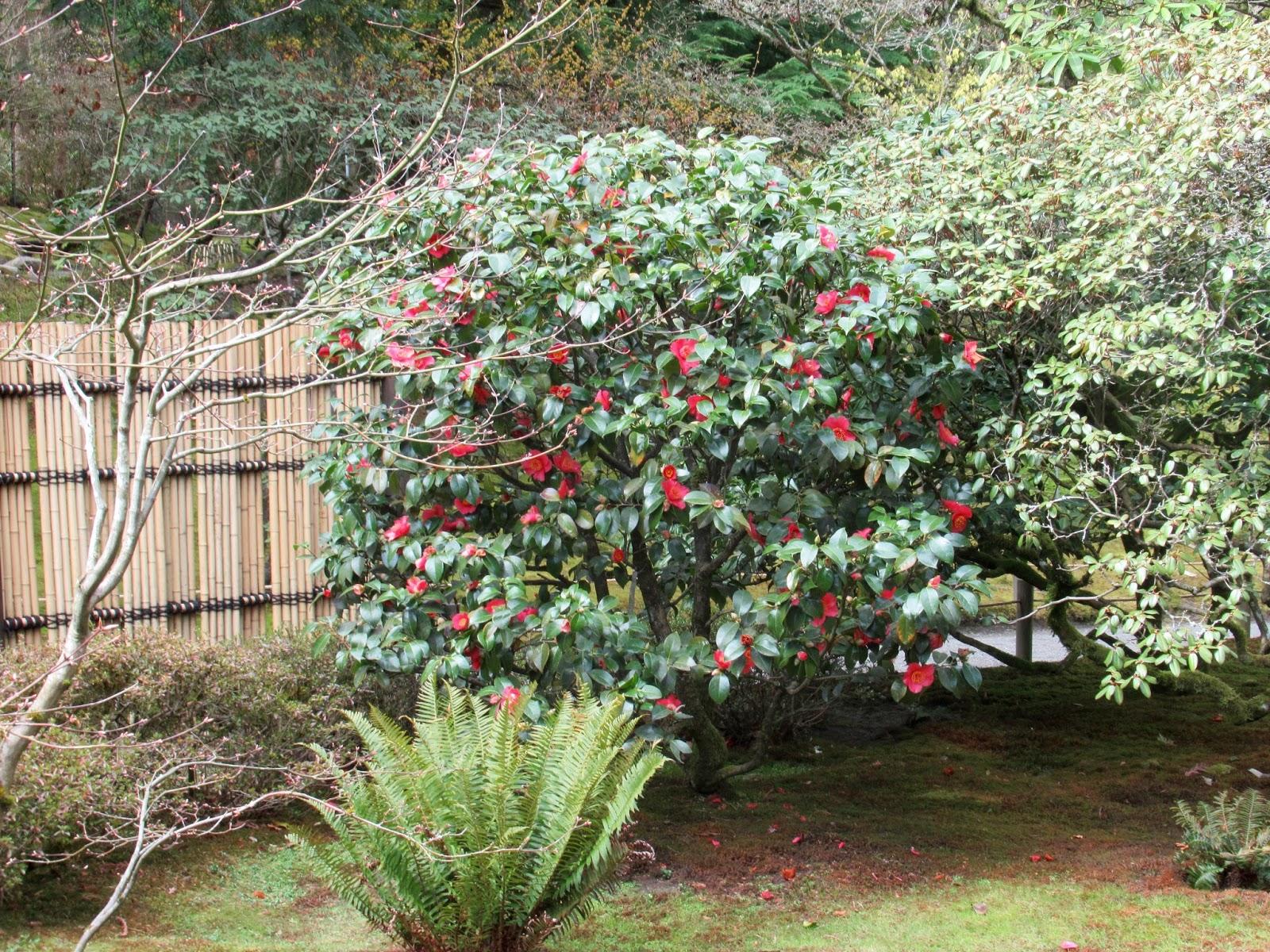 SJG U2022 3/28/18   Camellia Japonica U0027Takayamau0027 Framed By The New Bamboo  Fence, Area B