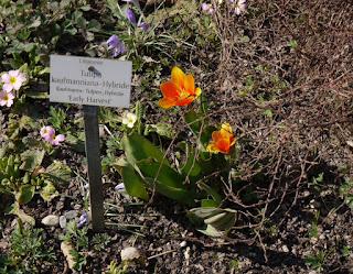 Tulpe Early Harvest