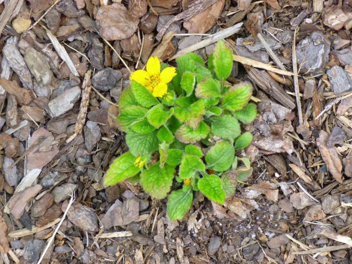 Chrysogonum Virginianum,绿色和金色,受到寒冷的困扰,现在迸发出绽放。