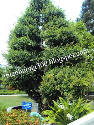Lăng cụ Phó Bảng: Cây Sộp được trồng từ năm 1688