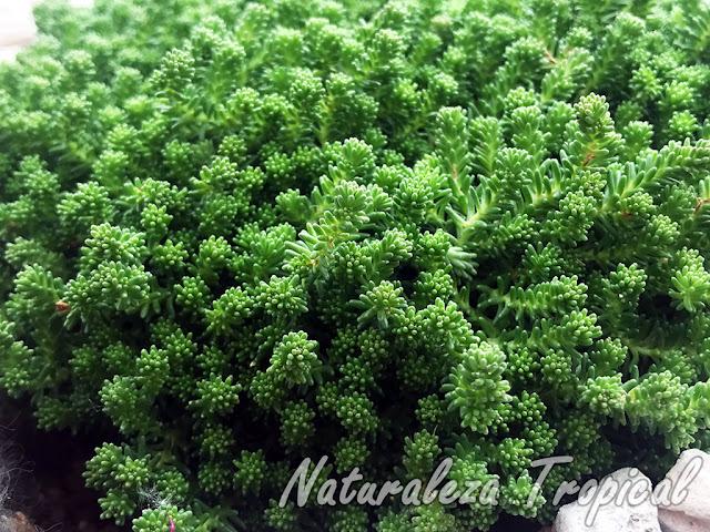 Otra fotografía de la planta suculenta conocida como Uvas de Gato o Pampajarito, Sedum acre