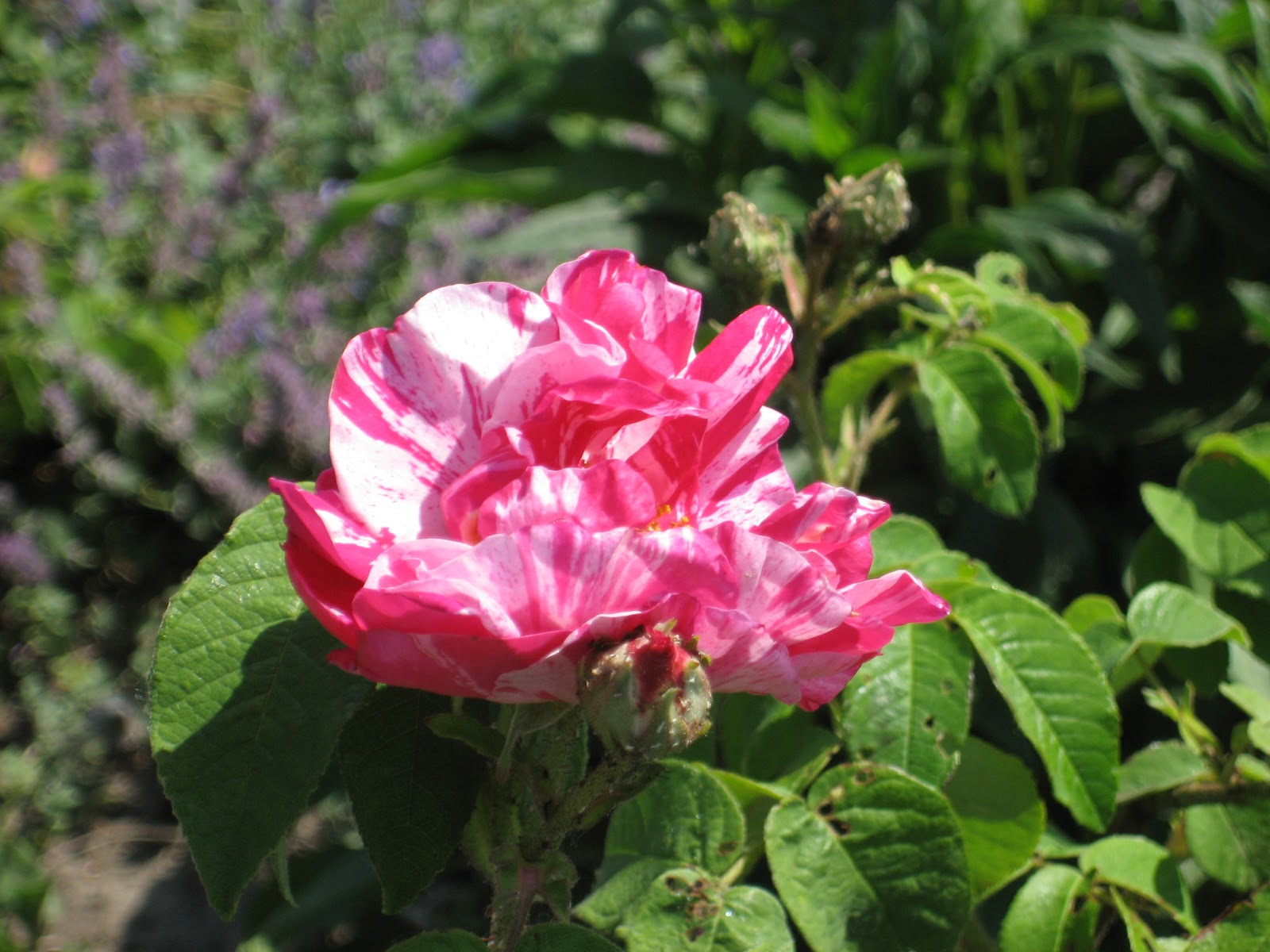 Rosa gallica versicolor (Rosa Mundi) | Old roses in my garden
