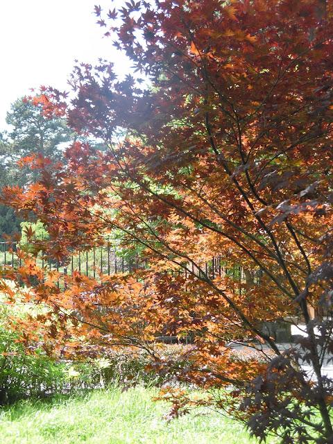 klon japoński w ogrodzie japońskim