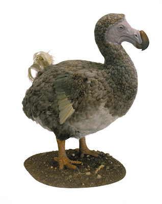 Dodos might have been quite intelligent, new research finds