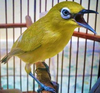 Manpaat Dan Harga Pakan Burung Pleci Lomba Terbaru Saat Ini Paling Lengkap
