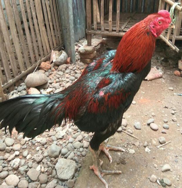 Jual Ayam Bangkok 2020 Pukul Mati