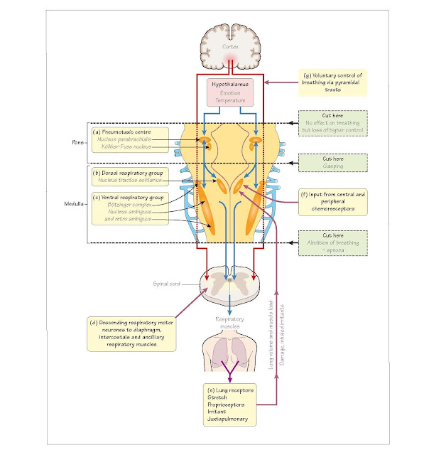 Lung receptors and reflexes