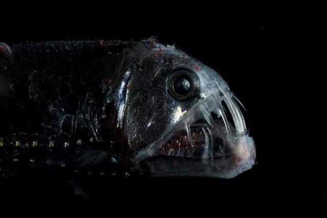 وجه مرعب,كائنات,سمكة التنين الأسود,الخفاش الأبيض,الناب,الأسنان,الدودة الشريطية,أبو الشص,الرتيلاء,عنكبوت,الأيسبود,الخلد,جراد البحر