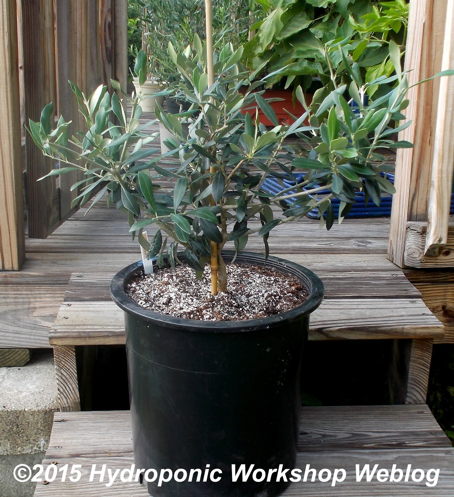 Hydroponic workshop journal february 4 2016 olive for What to plant under olive trees