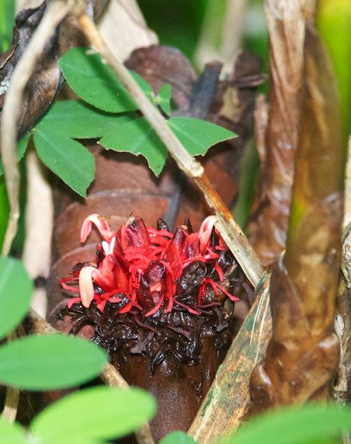 Etlingera cf pubescens