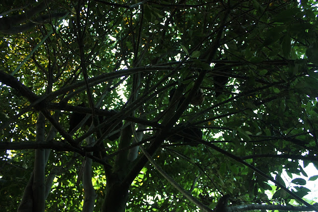Organic chickens roosting in trees