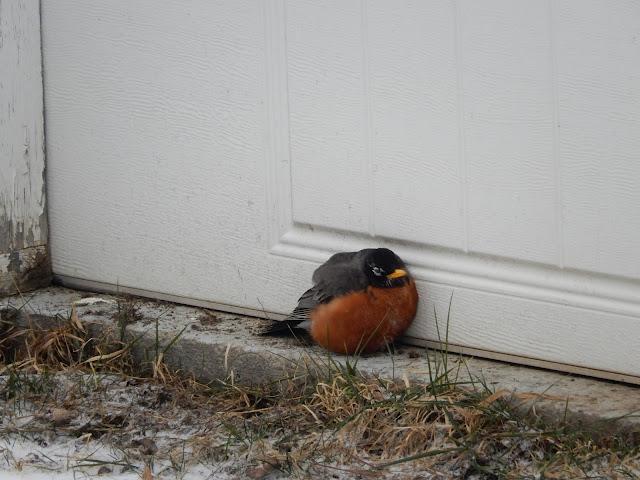 Robin shivering