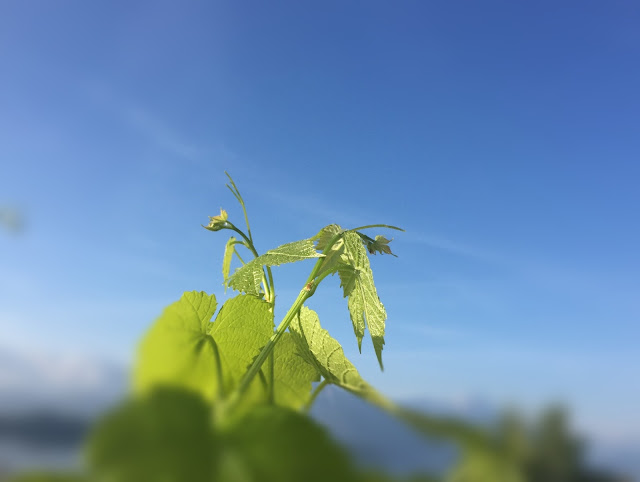 Rebe wächst gegen den Himmel
