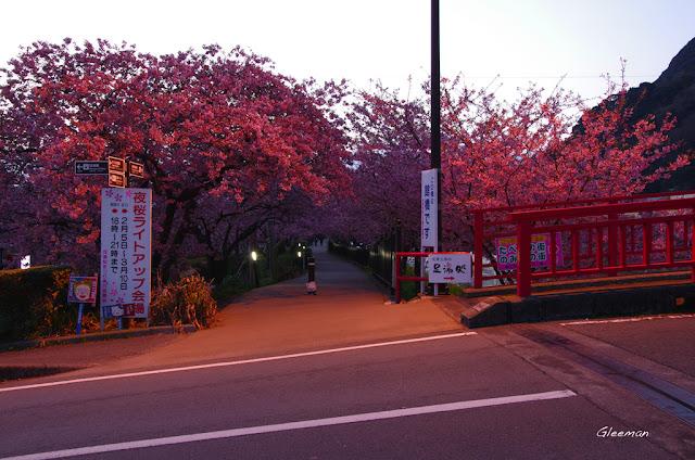伊豆・河津櫻祭,館橋晨櫻