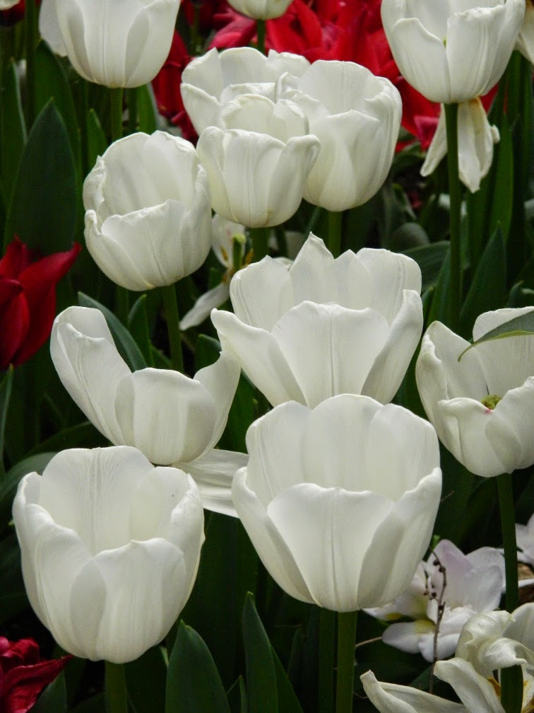 White tulips Centennial Park Conservatory 2015 Spring Flower Show by garden muses-not another Toronto gardening blog