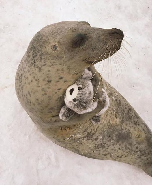 Chú hải cẩu đáng yêu ôm ấp thú bông của mình không rời