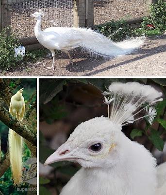 Burung Merak Albino