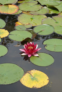 pink lotus floating among circular green leaves in pond