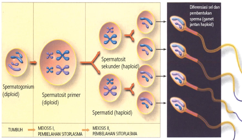 u-nas-vosstanovilsya-spermatogenez-posle-varikotsele